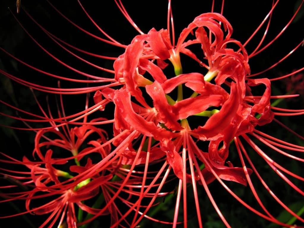 Hoa bỉ ngạn tượng trưng cho sự chết chóc