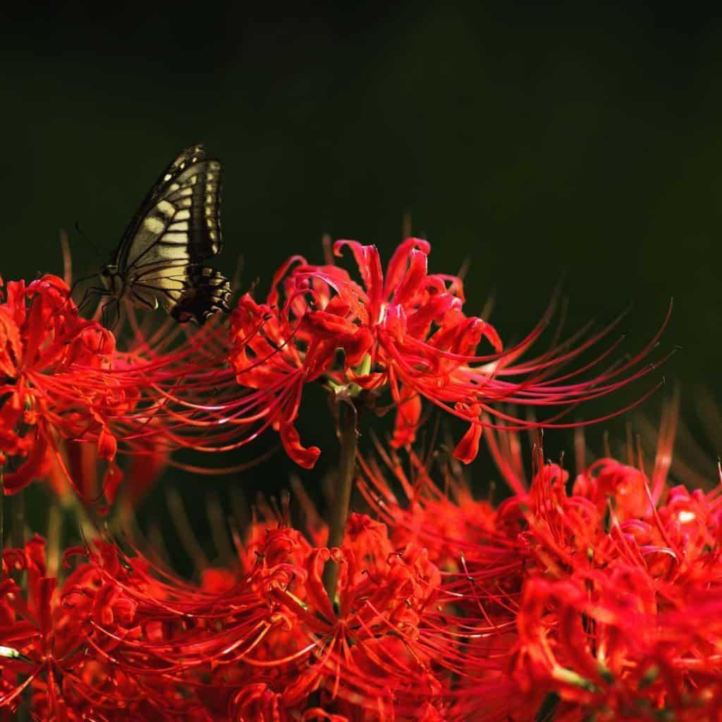 Hoa bỉ ngạn biểu tượng của sự phân ly